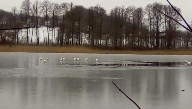 На Київщині із криги врятували сімох лебедів