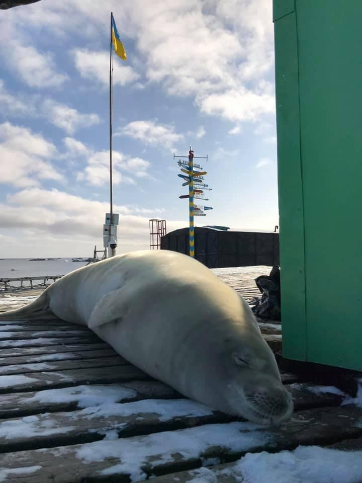 """Українських полярників в Антарктиді """"проінспектував"""" тюлень"""