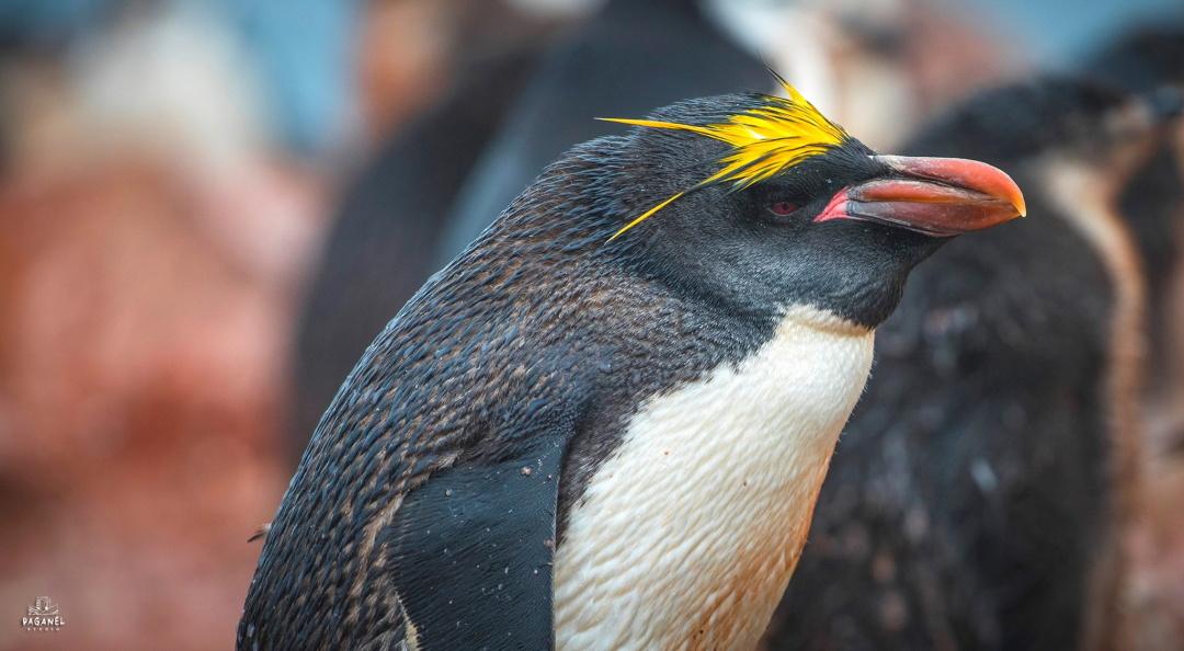 Пінгвін Макароні