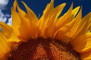 А агробізнесі найрентабельнішим торік було виробництво насіння соняшнику – експерт