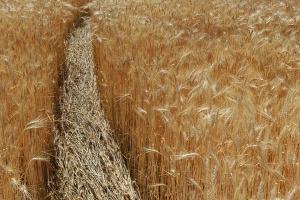 Expertos: Las existencias de trigo en Ucrania caen un 16,2%
