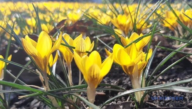 У запорізькому ботанічному саду розквітли первоцвіти