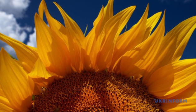 В агробізнесі найрентабельнішим торік було виробництво насіння соняшнику – експерт