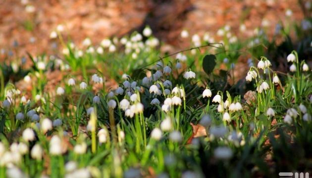 Слідом за шафранами на Закарпатті масово розквітли білоцвіти