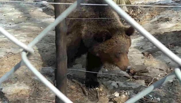 У Галицькому заповіднику прокинулись ведмеді і з'їли перший сніданок