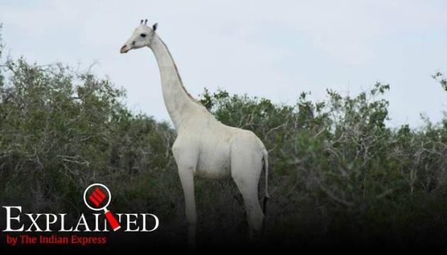 У Кенії вбили двох унікальних білих жирафів