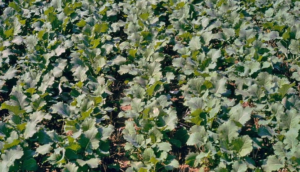 Дехто з аграріїв устиг посіяти озимий ріпак