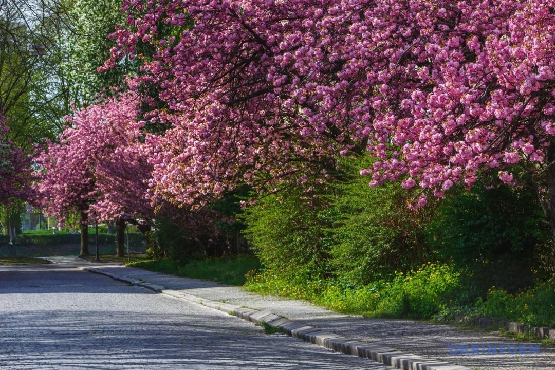Прогулянка сакуровим Ужгородом