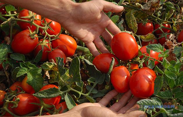 відновилося зниження цін на ринку тепличних помідорів