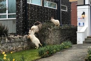 Гірські козли «захопили» порожні вулиці міста у Вельсі
