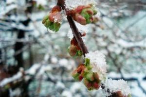 На Закарпатье из-за заморозков потеряли урожай ранних абрикосов и персиков
