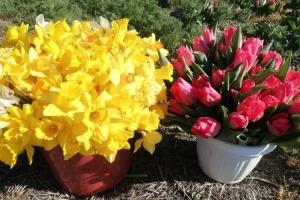 Село на карантині: півмільйона тюльпанів, онлайн-базари та посівна