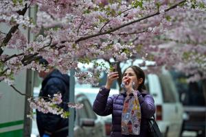 Карантинне ханамі: у Вінниці зацвіли сакури