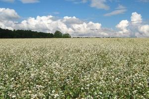 Производители гречихи и овса получат субсидию в ₴5 тысяч на гектар - Минагро