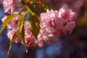 На Закарпатті створили рожеву мапу сакур