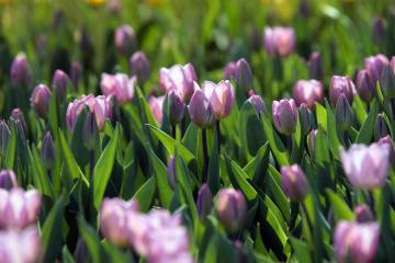"""Виставка тюльпанів на Співочому полі """"перейде"""" в онлайн"""