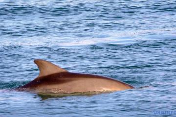 Más de 250 mil delfines habitan en el Mar Negro