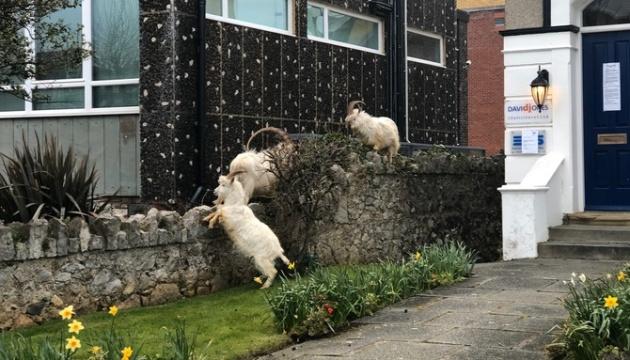 Горные козлы «захватили» пустые улицы города в Уэльсе