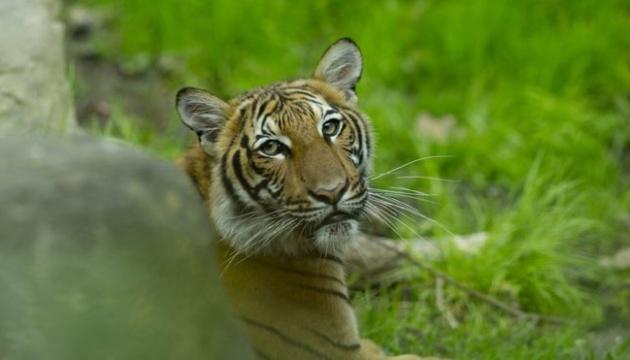 В зоопарке Нью-Йорка коронавирус обнаружили у тигрицы