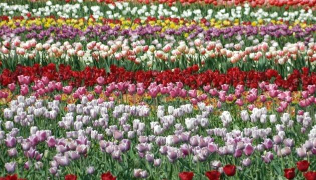 На Буковині через карантин доведеться знищити три мільйони тюльпанів