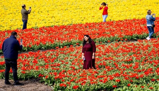 У Нідерландах фермерам доведеться скошувати тюльпанові поля через туристів