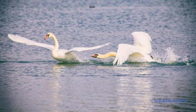 Карантинно-поствеликоднє. Білі лебеді на чистому озері