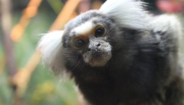 У Бердянському зоопарку вперше народилися незвичайні мавпочки - біловухі тамарини