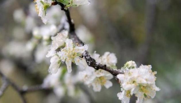 Заморозки знищили врожай ранньої черешні на Запоріжжі