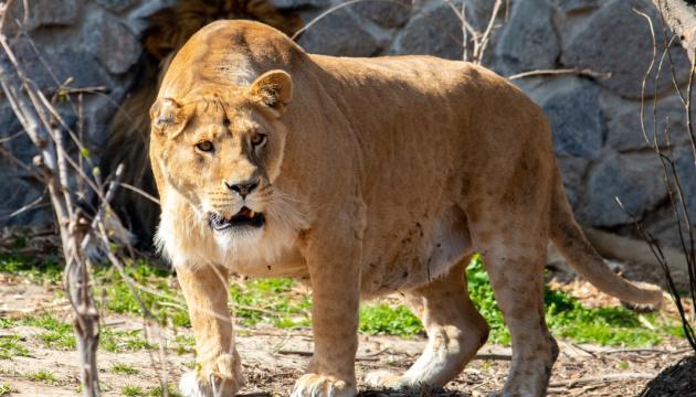 У хищников из зоопарка Нью-Йорка обнаружили два штамма коронавируса