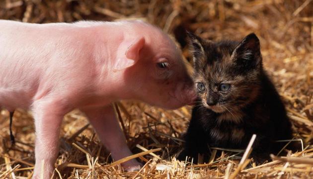 Ученые выясняют, могут ли коты и свиньи переносить коронавирус