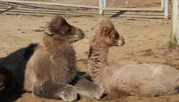 У Харківському зоопарку верблюд тричі за весну став татом