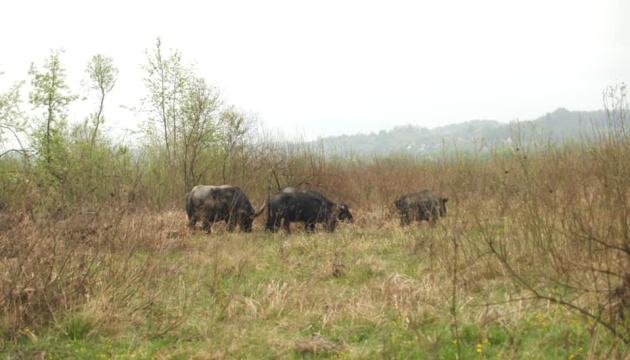 У Долину нарцисів повернулися карпатські буйволи