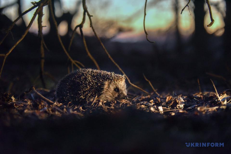 Igel beim Sonnenuntergang / Foto: Olena Khudjakowa, Ukrinform