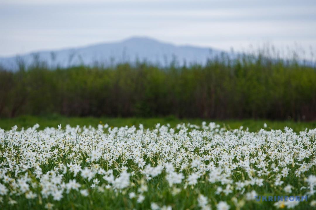 Прохолодна весна подовжить період цвітіння Долини нарцисів до кінця травня