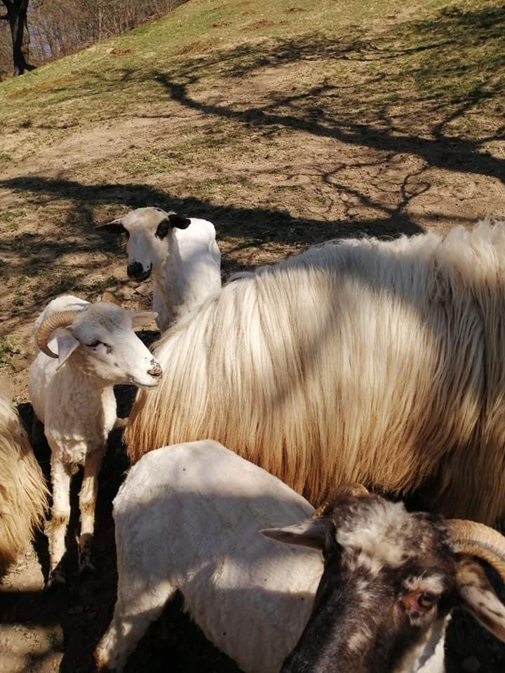 У гірських селах на Закарпатті почалася масова стрижка овець, фото-1