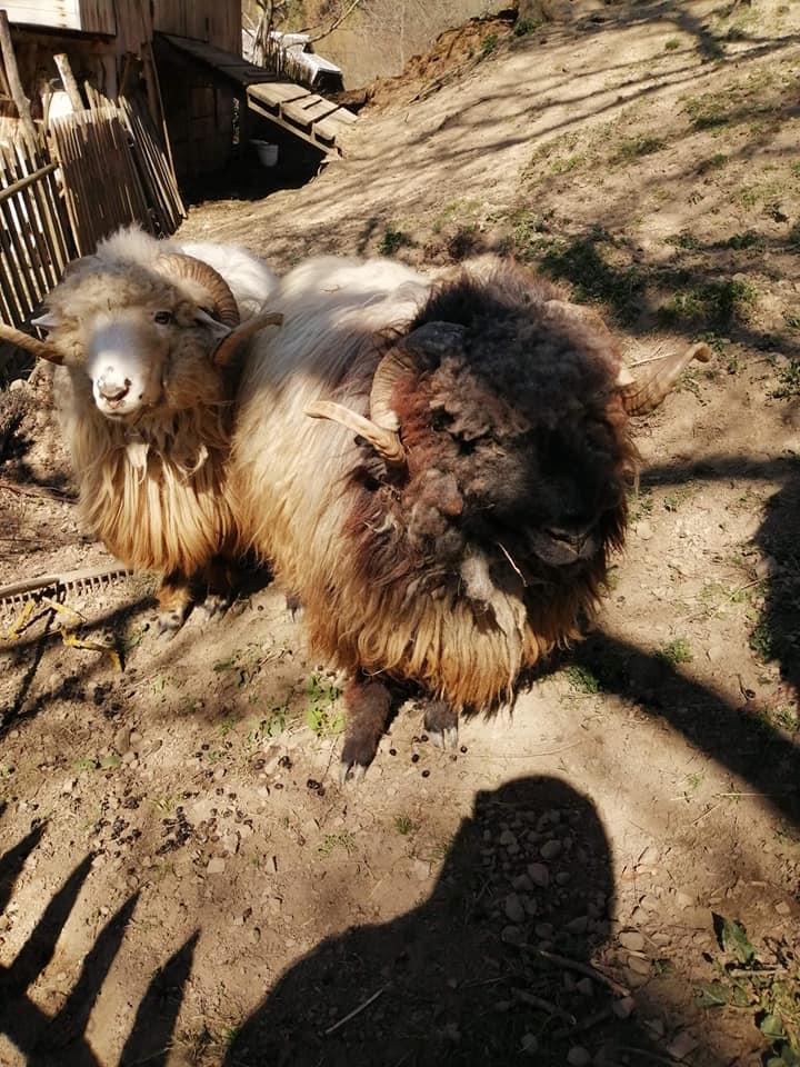 У гірських селах на Закарпатті почалася масова стрижка овець, фото-2