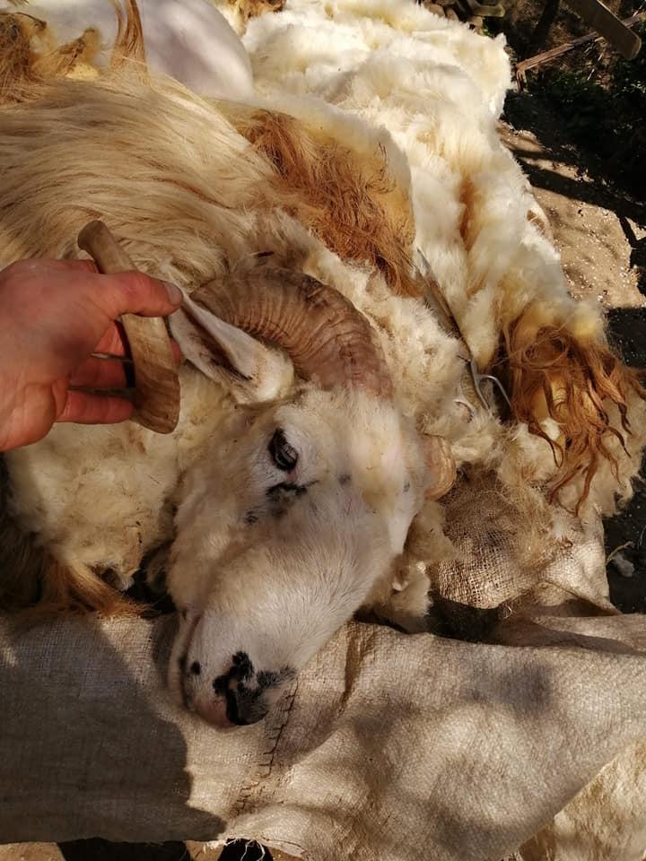 У гірських селах на Закарпатті почалася масова стрижка овець, фото-5