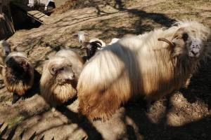 В горных селах на Закарпатье началась массовая стрижка овец
