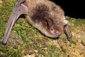 Під мостом на Прикарпатті оселилися червонокнижні кажани