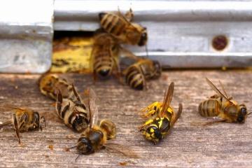 Пасічники Сумщини масово скаржаться на загибель бджіл