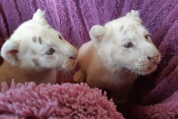 Im Zoo von Berdjansk weißen Tigerjungen erste Impfungen gemacht