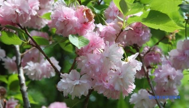 ハルキウ市の桜並木が開花 日本年で植樹
