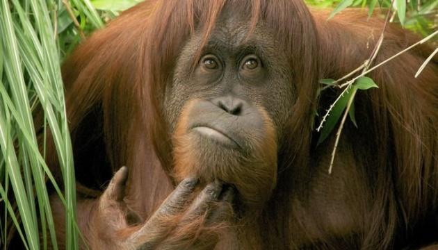 """Орангутани не схильні до """"флешмобу"""" позіхань, але наслідують почісування"""