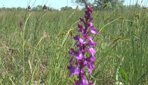 На Миколаївщині квітне поле диких орхідей