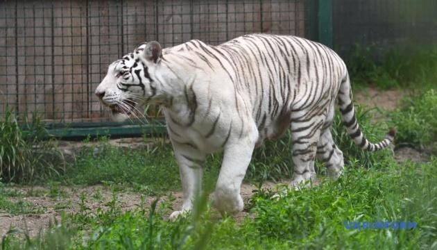 У Бердянському зоопарку білим тигренятам зробили перше щеплення