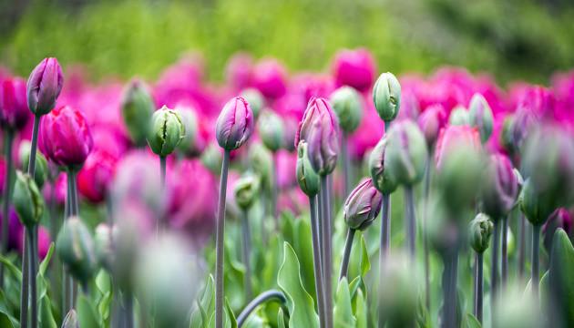 Весна в Канаді. Оттава вдяглася у тюльпанові барви попри коронакризу