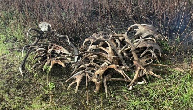 З Чорнобильської зони хотіли вивезти 150 кілограмів рогів
