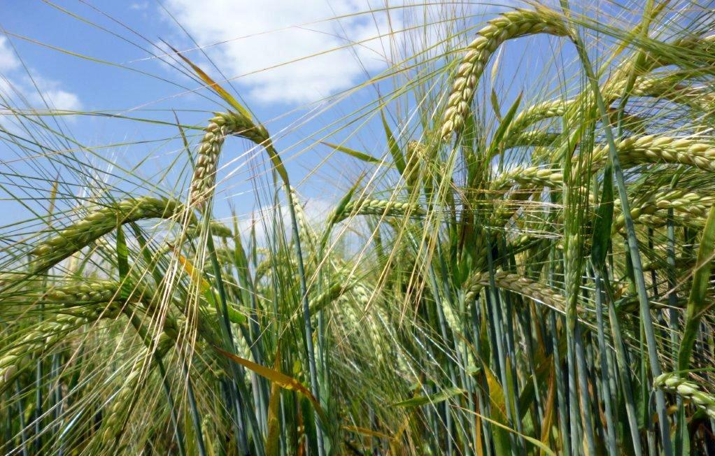 Більшість посівів ярих ячменю, пшениці та вівса – у хорошому стані
