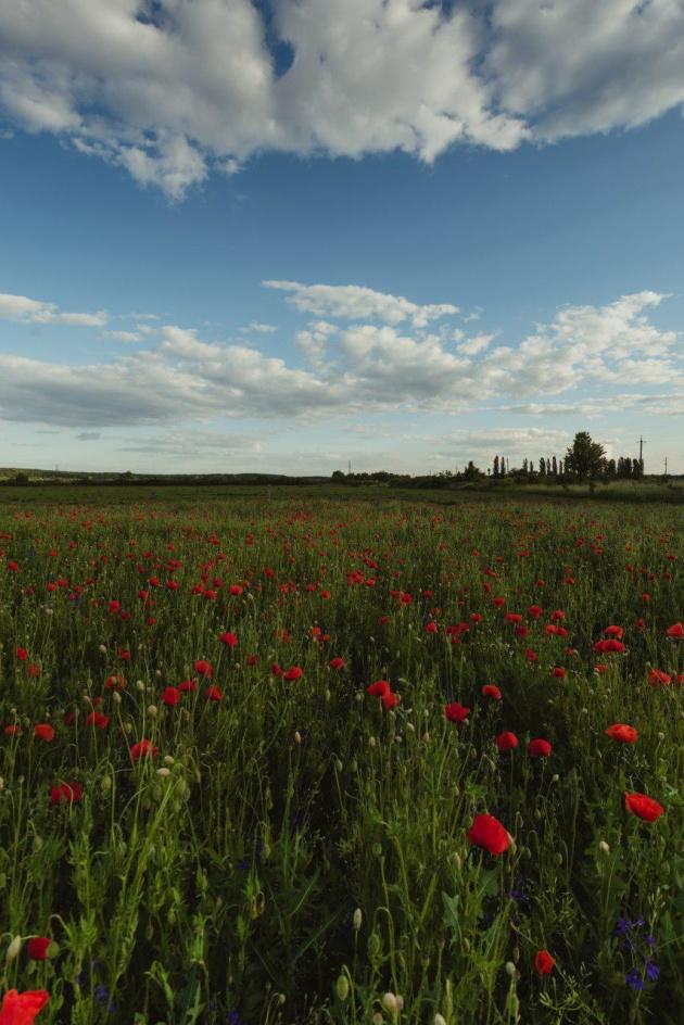 У Мукачеві на площі в кілька гектарів квітнуть дикі маки