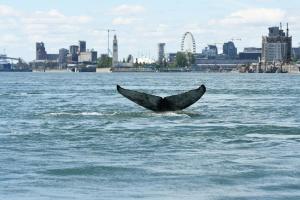В один из крупнейших городов Канады заплыл горбатый кит